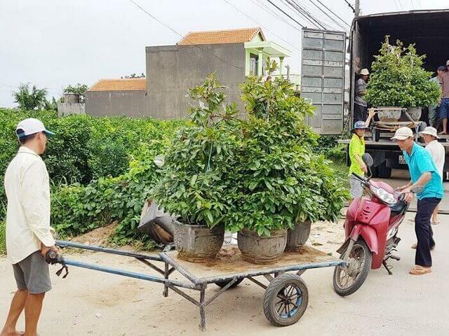 vận chuyển cây cảnh trồng trên mặt đất